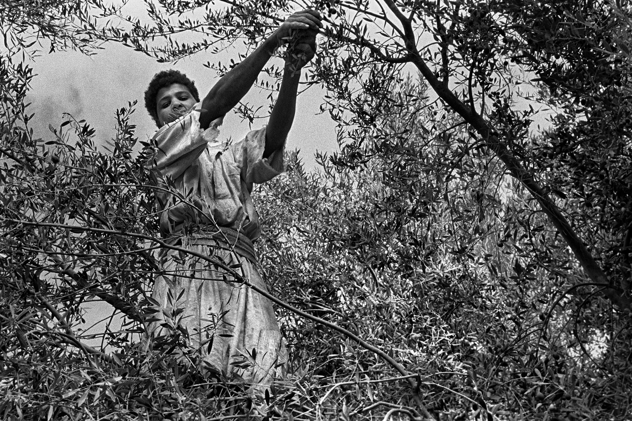 Sèrie: Els Oasis d'Egipte. Recollint olives. Siwa 1984. Oasis d'Egipte. 1984.