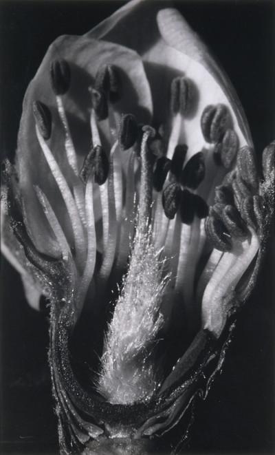 Poncella d'ametller