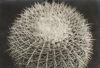 Cactus punxós
