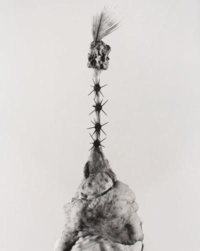 Aspegia buphera