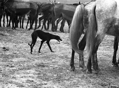 Fira del Bestiar a Sevilla, 1960 [sèrie 35 mm - Pas Universal]