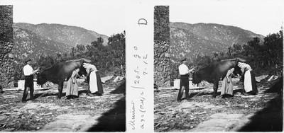 Margarida , Maria i Silvestre munyint una vaca