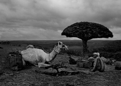 Sèrie: Socotra, l'illa dels genis. Pastor amb el seu camell junt al peu de l'arbre de la sang del drac