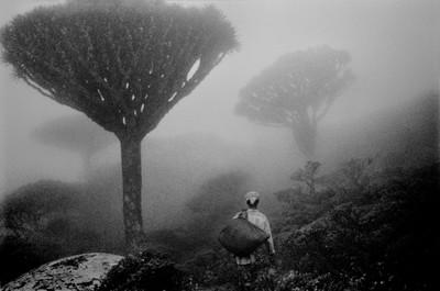 Sèrie: Socotra, l'illa dels genis. Boira entre els arbres de la sang del drac