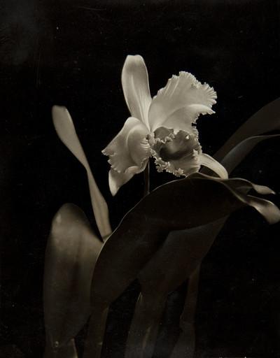 Cattleya Hibernalis