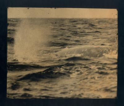 Balena grisa. Baja California Sur. México. 1870