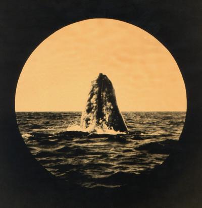 Balena grisa. Baja California Sur. México. 1871