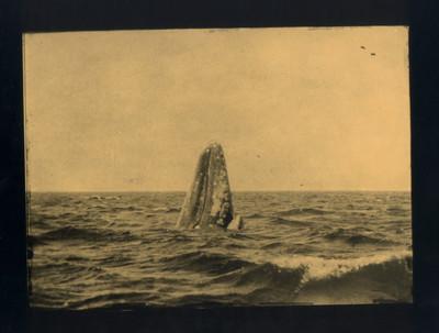 Balena grisa i cria. Baja California Sur. México. 1870