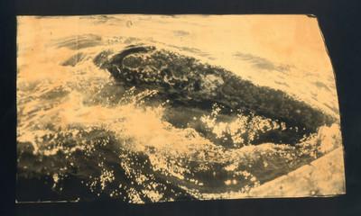 Primer contacte amb una balena grisa. 1870